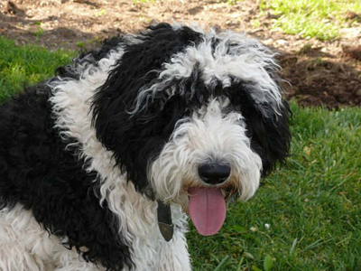 Another sheepadoodle....can't wait to get one for the TraylorHouse!